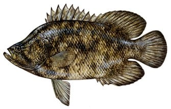 Naples Fishing Recipes: Baked Tripletail