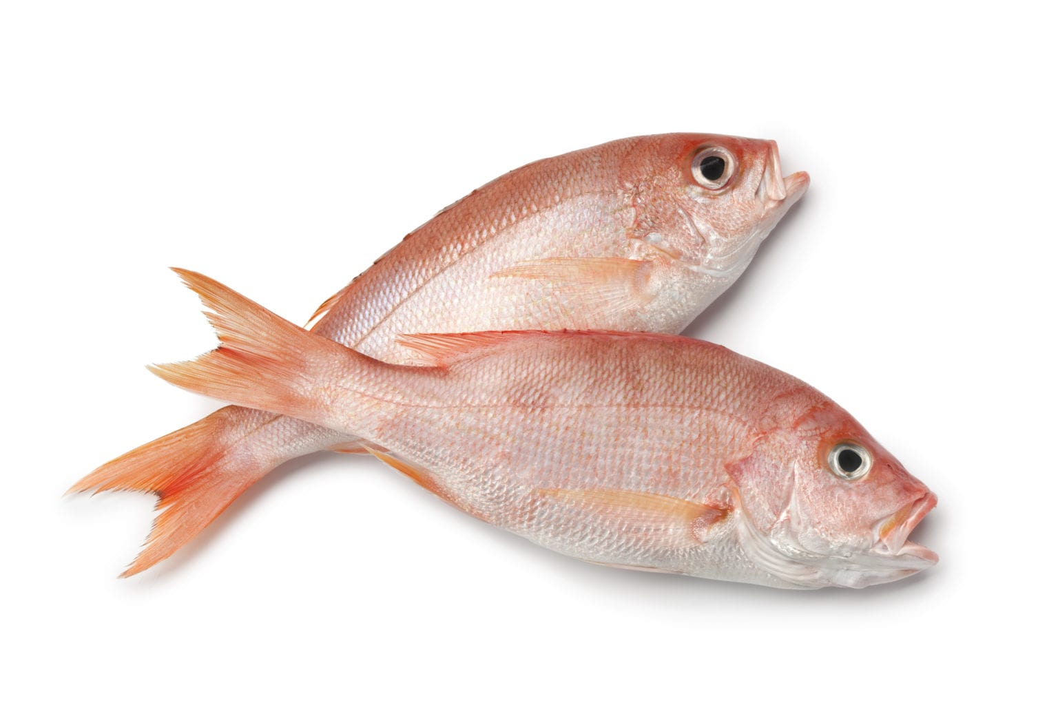 Researchers Begins On Gulf Red Snapper Study