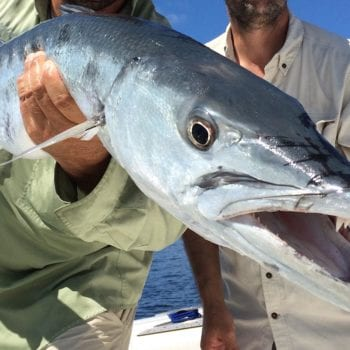 naples nearshore toothy citters