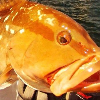 grouper offshore of naples