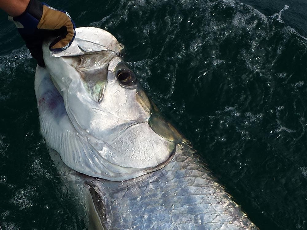 a tarpon being released in a naples fishing boat
